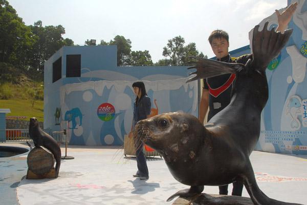 从深圳野生动物园获悉,两只憨厚而可爱的南美海狮,在该园海洋天地驯养师训练下,更凭着海狮自身的聪明,目前,它们终于身怀不少技艺。两只南美海狮能够准确地执行驯养师发出的指令,做出倒立行走、转圈、拍掌、顶球等动作。目前这两只南美海狮已正式登台与该园原有的两只非澳海狮同台为游客献艺。游客在该园的海洋天地,可以观赏到南美海狮和非澳海狮两种不同风格的精彩表演。 据悉,这两只南美海狮于2009年10月来到深圳野生动物园。年龄在1岁半,目前长势喜人,体重由刚到动物园的20公斤长到目前的40多公斤。 据深圳野生动物园驯养师