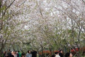 揚州櫻花園