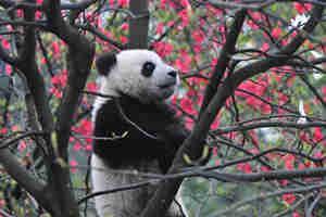 臥龍中華大熊貓苑