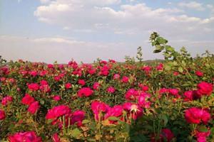 重慶花之戀玫瑰文旅園