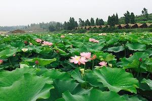 重慶香水百荷景區