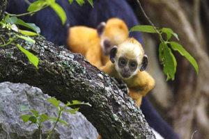 崇左白頭葉猴保護區