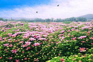 临湘桃林菊花园