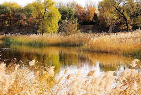 北京圆明园芦苇景观可赏至12月