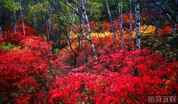 喇叭沟原始森林公园首届彩叶节: 由于公园海拔高,无霜期短,这里的秋天